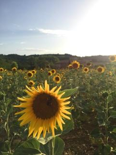 Tuscan sunflower fields