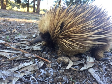 The fearless resident echidna