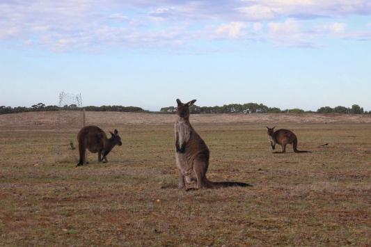 Kangaroos best pic
