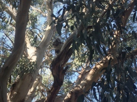 koala 1 lightened